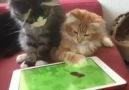 ipad'de fare yakalamaya çalışan kediler