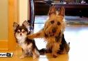 İspiyoncu köpek, arkadaşını anında sattı!