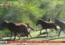 İşte Termenin Meşhur Yılkı Atları