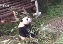 Je veux un panda cest tellement drle