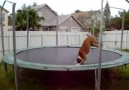 Just a Dog On a Trampoline!
