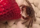 Just a tiny crab eating a strawberry