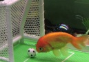 Just look at that soccer playing goldfish!