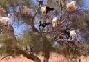 Kaçırdığınız keçileri buldum - Asi Karadeniz Kızı