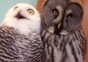 Kameraya bakakalan baykuşlar
