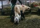 Kangal köpeği &kuzulara da annelik yapıyor