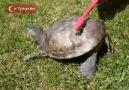 Kaplumbağa Kolbastı