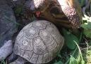 Kaplumbağaların aşkı kameralara böyle yansıdı