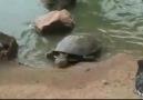 Kaplumbağanın yaptığına inanamayacaksınız
