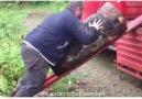 Karadenizli Abimiz 150kglik Kütüğü Tek Başına Kamyonete Yüklerken