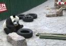 Kar görünce çılgına dönen panda.