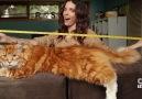Karşınızda dünyanın en uzun kedisi...