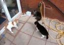 Kavgacı kediler. - ASMAN bilgi sayfası