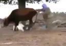 kaz ineğin kabusu oldu- Haber Tempo Videolari