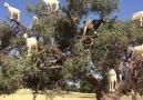 keçi ağacı