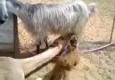 Keçinin Süte Dadanan Deve :)