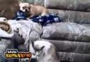 Kedi Görünce Zırlayan Köpek