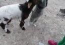 Kedi İle Kuzunun Süt Kavgası
