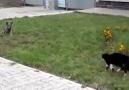 Kedi kedi olalı bir köpek yakaladı