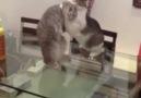 Kedilerin Ata Sporu )