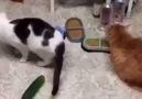 Kedilerin salata ile imtihanı