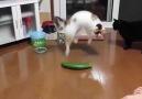 Kedilerin salatalık ile imtihanı