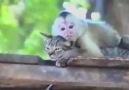 Kedi Sever Maymun