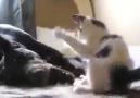 Kedi Yavrusunu Eğlendiren Köpek