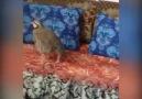 Kediyi düz ovada avlayan keklik - Ali Mahı Umutnet