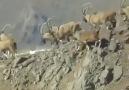 Kendilerini Dağlara Salmışlar - Avcının Yaban Hayatı