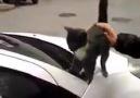 Kendini Zorla Sevdiren Yurdumun Güzel Kedisi )