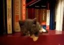 Kitten Sleeping on a Bookshelf!
