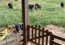 Kocapati - Yaban Domuzu çok tehlikeli.
