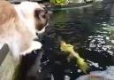 Koi balığı ile kedi.