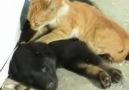 Köpeğe Masaj Yapan Kedi