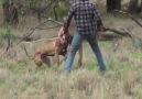 Köpeğini kurtarmak için kanguruyla boks yapan adam