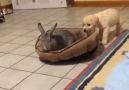 Köpeğin Yerine Kurulan Yüzsüz Tavşanın İnadı