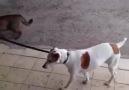 Köpek Gezdiren Kedi.. :))