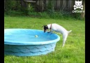 Köpek Havuzdan Top Almaya Çalışıyor