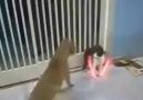 2 köpek vs 1 kedi