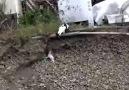 Köpek yavrusunu kurtaran kedi