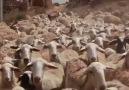 Koyunları fazla hafife alıyoruz.