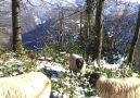 koyunlarla  beraber   çay keyfi  kışın
