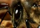 Kraliçe Arı Ve Polis Arılar Belgesel Günlüğü