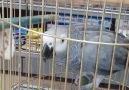 Küfürbaz papağan