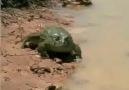 Kurbağanın merhamet-Şaşıracaksınız
