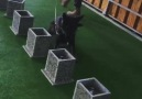 Kurban Ali - High quality trained dogs .. Best of Turkey...