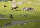 Kuşlarla Kovalamaca Oynayan Bebek Filin Düşüp Annesine Koşması