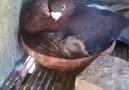 Kuşun altında yavrusu değil kedi var! kgjfkdld
