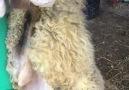 Kuzu Fabrikası - Tırnak kesim-bakım